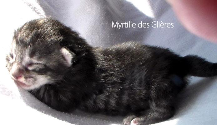 Myrtille des Glières, femelle norvégienne black tortie silver mackerel tabby - Chatterie des Glières