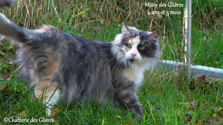 Mitsy des Glières, femelle norvégienne black tortie smoke & blanche - Chatterie des Glières