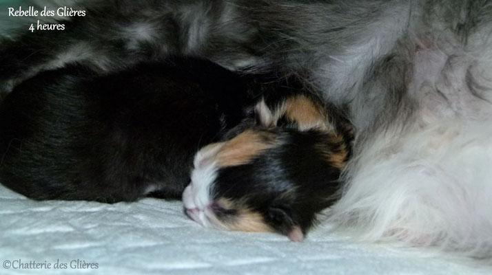 Rebelle des Glières, femelle norvégienne black tortie & blanche