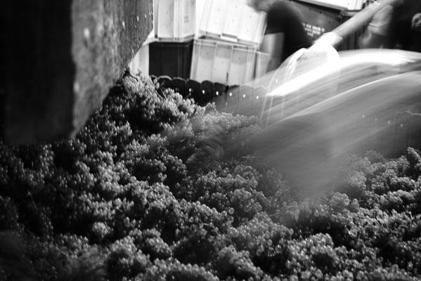 Grappes de raisin Chardonnay Grand Cru chargées dans le pressoir | Champagne Launois Paul @ Le-Mesnil-sur-Oger - Côte des Blancs (proche Épernay)
