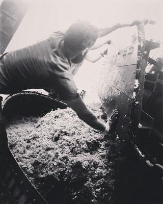 Vendanges 2016 : retrousse du raisin chardonnay dans le pressoir | Champagne Launois Paul @ Le-Mesnil-sur-Oger - Côte des Blancs (proche Épernay)