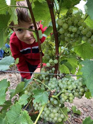 Paul Launois : harvesting | Champagne Launois Paul @ Le-Mesnil-sur-Oger - Côte des Blancs (proche Épernay)