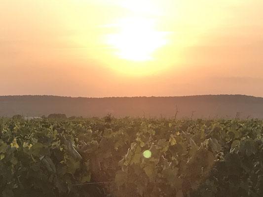 Coucher de soleil sur le vignoble au Mesnil-sur-Oger - Côte des Blancs (proche Épernay)