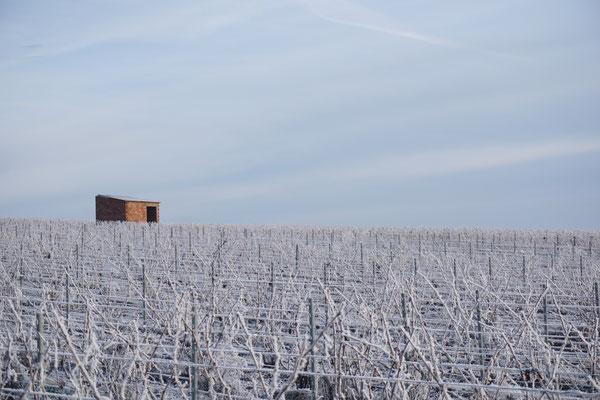 Le vignoble du Mesnil-sur-Oger en hiver sous le gel - Côte des Blancs (proche Épernay)