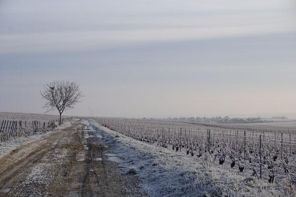 La neige en Champagne dans le vignoble | Le-Mesnil-sur-Oger - Côte des Blancs (proche Épernay)