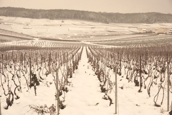 Snow in the vineyard at Le-Mesnil-sur-Oger - Côte des Blancs (proche Épernay)