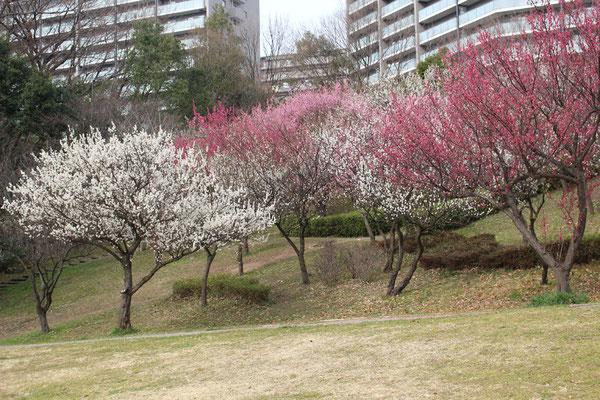 山田富士公園の梅