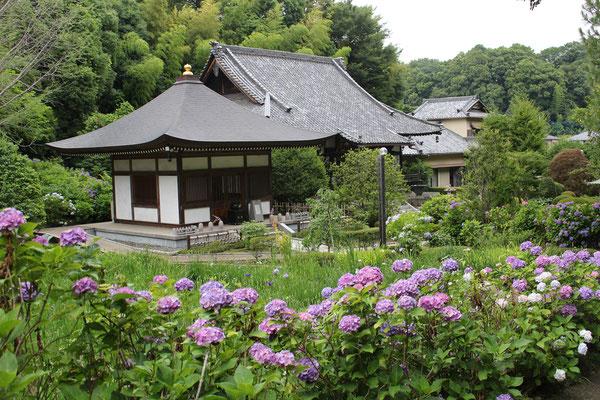 正覚寺アジサイ