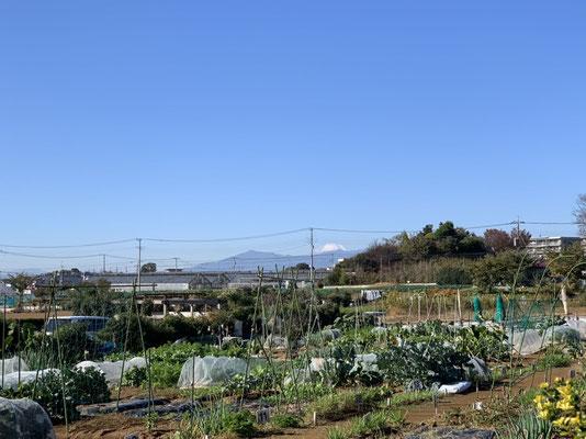 特区農園と富士