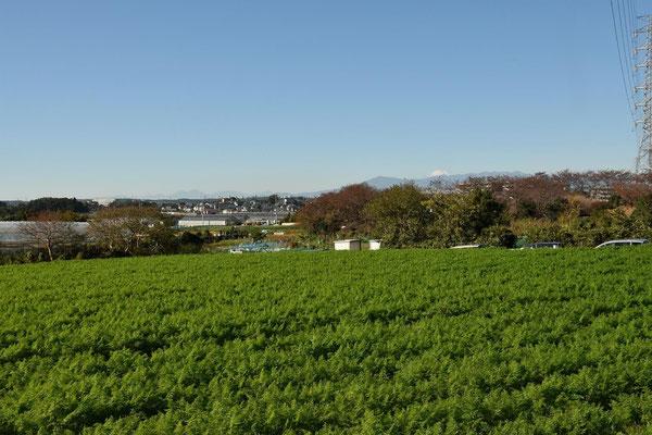 畑から富士を望む