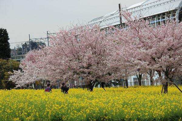 川和駅周辺のサクラと菜の花