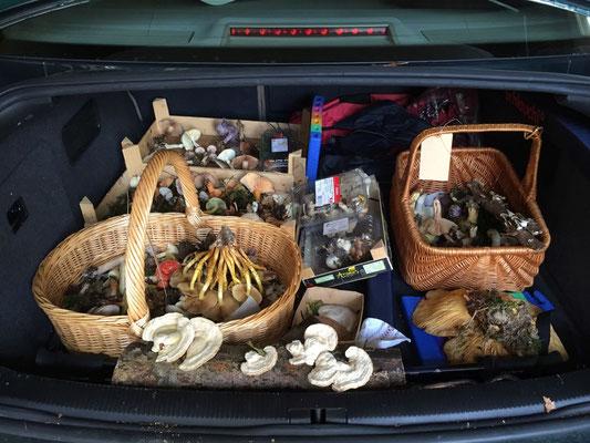 Am Freitag heisst es Pilze sammeln für die Ausstellung.