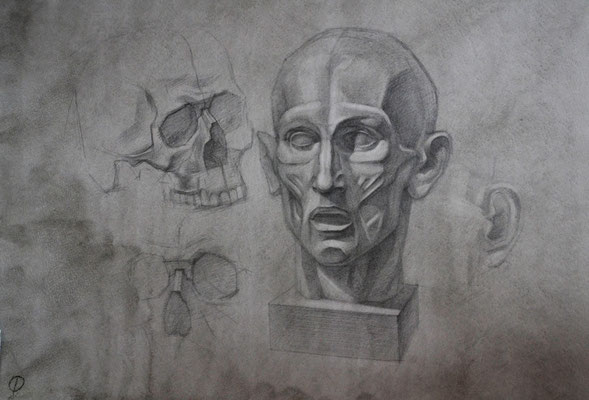The skull and head with muscles (pencil) 40*55