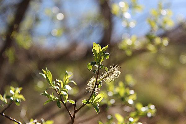 """""""Våren spirar i Rossön"""""""