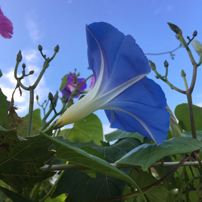 "Morning Glory ""Heavenly Blue"", meine Favoritin der Prunkwinden..."