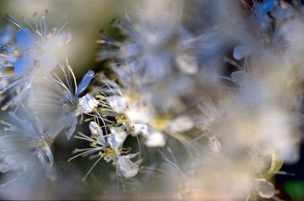 Mädesüss – Queen of the meadow