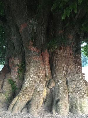 Linner Linde, einer der ältesten Bäume der Schweiz, soweit man weiss...