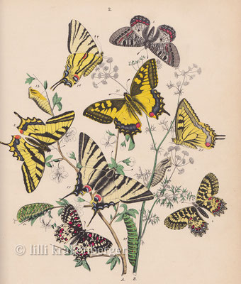 Schmetterlings-Bestimmungsbuch vom Grossvater, butterfly book of my grandfather