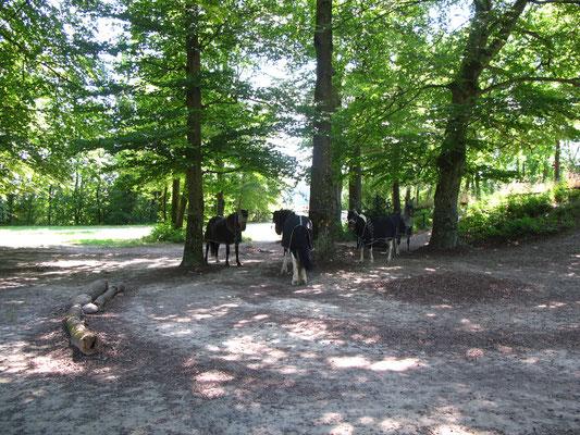 Die Pferde geniessen ihren Schattenplatz