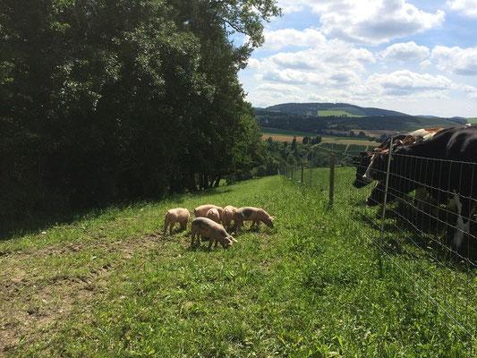 Schweine im Wald im Sauerland auf dem Hof Köhne