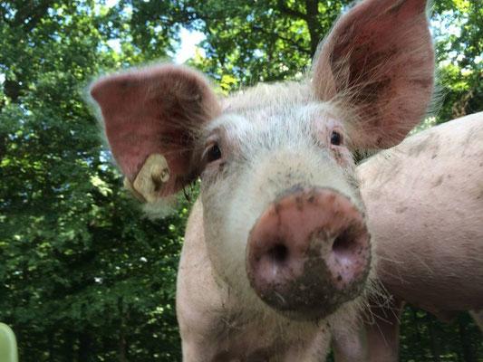 Schwein auf dem Ferienhof Köhne in NRW
