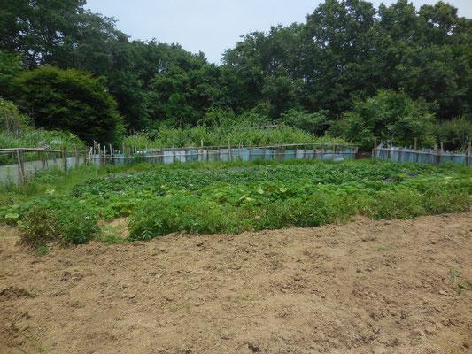 ジャガイモ、かぼちゃ畑