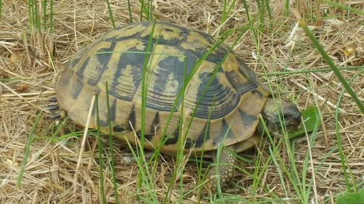 Eine griechische Landschildkröte