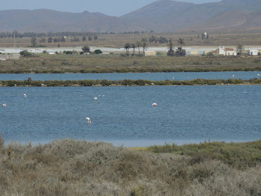 Flamingos in den Salinas (Salzsee)