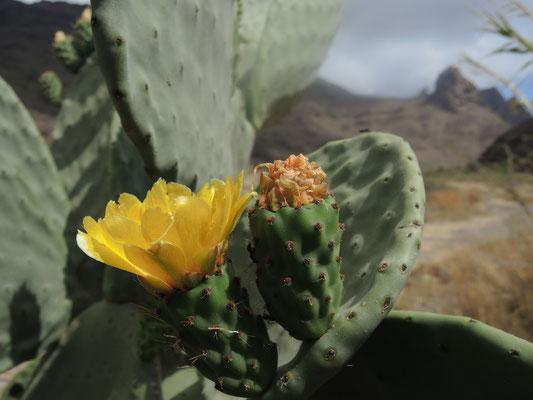 Kaktusbüte