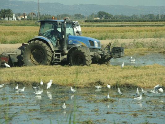 Landwirtschaft mit Siberreihern