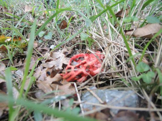 Gleich zu Beginn der Wanderung ein irrwitziger Pilz