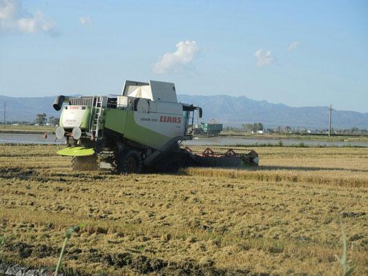 Mähdrescher für Reis