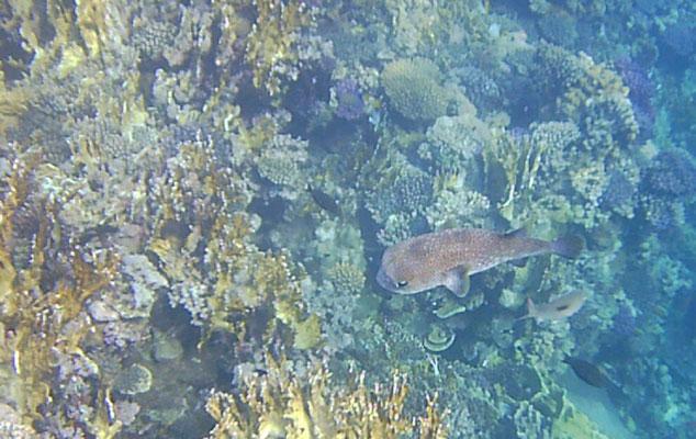 Gleich morgens - ein großer Kugelfisch