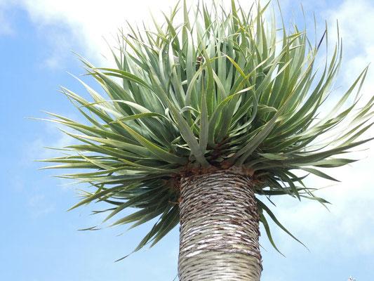 Drachenbaum im ersten Stadium - keine Verzweigung
