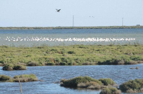 Flamingos im Delta