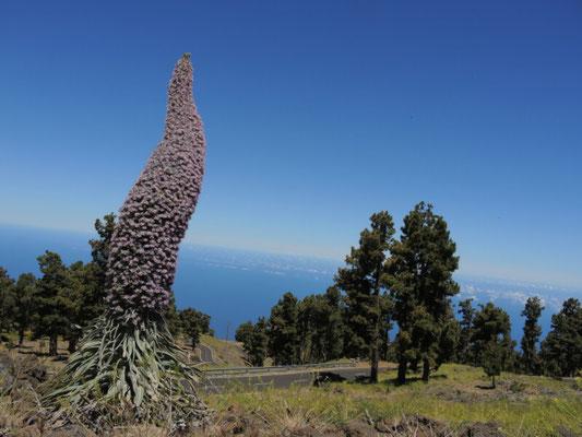 Wildprets Natternkopf - kommt nur auf La Palma und Teneriffa vor