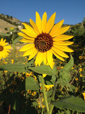 Sunflower, late summer, Boulder, Colorado Photo credit: Amy Mundinger