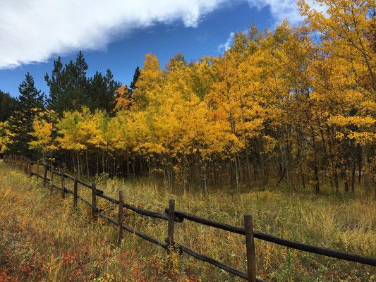 Autumn aspens on the Peak to Peak Highway, Boulder County