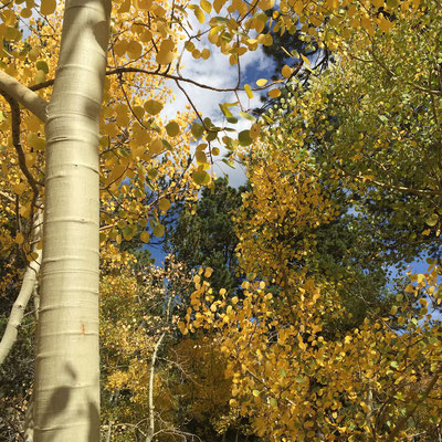Aspens in fall color, near Boulder, Colorado Photo credit: Amy Mundinger