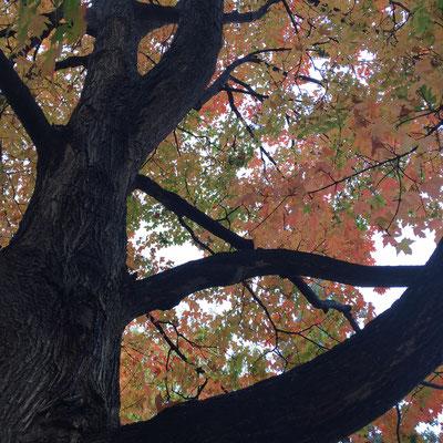Maple tree on University Hill, Boulder, Colorado Photo credit: Amy Mundinger