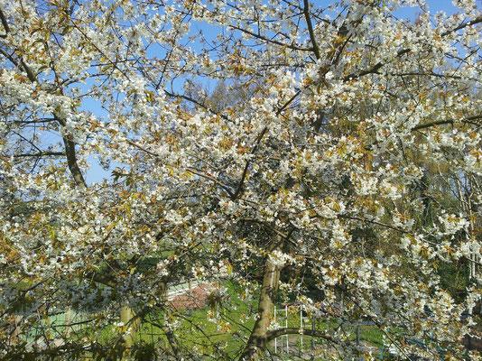 Blick in den Garten bei Kirschblüte