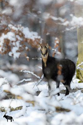 eng gestellte Gamsgeiß in Winterlandschaft