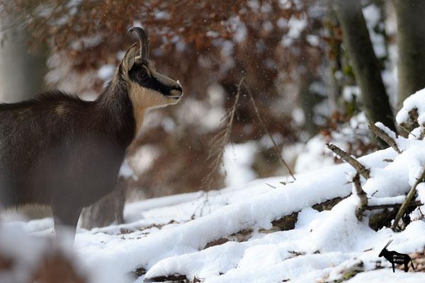 jüngere Gamsgeiß im Schneetreiben