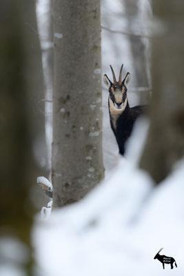 neugierige Gamsgeiß im winterlichen Buchenwald