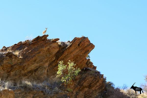zwei Klippspringer in der Namib-Naukluft-Region