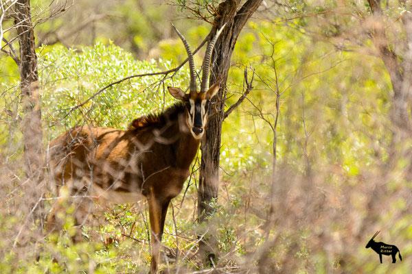 Sablekuh - Rappenantilope
