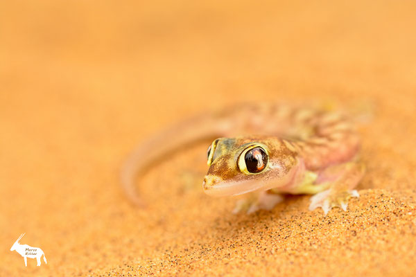Palmato-Gecko
