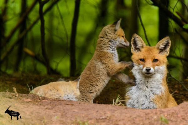 Fuchsfähe mit Welpen