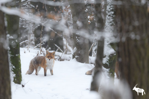 ... die Fuchsranz ist im vollen Gange