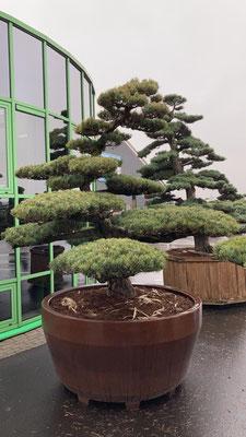 exklusiven bonsai kaufen, nadelbaum, juniperus, wacholder, sammlerstueck, einzelstueck, baumschule, bayern, sueddeutschland, umgebung